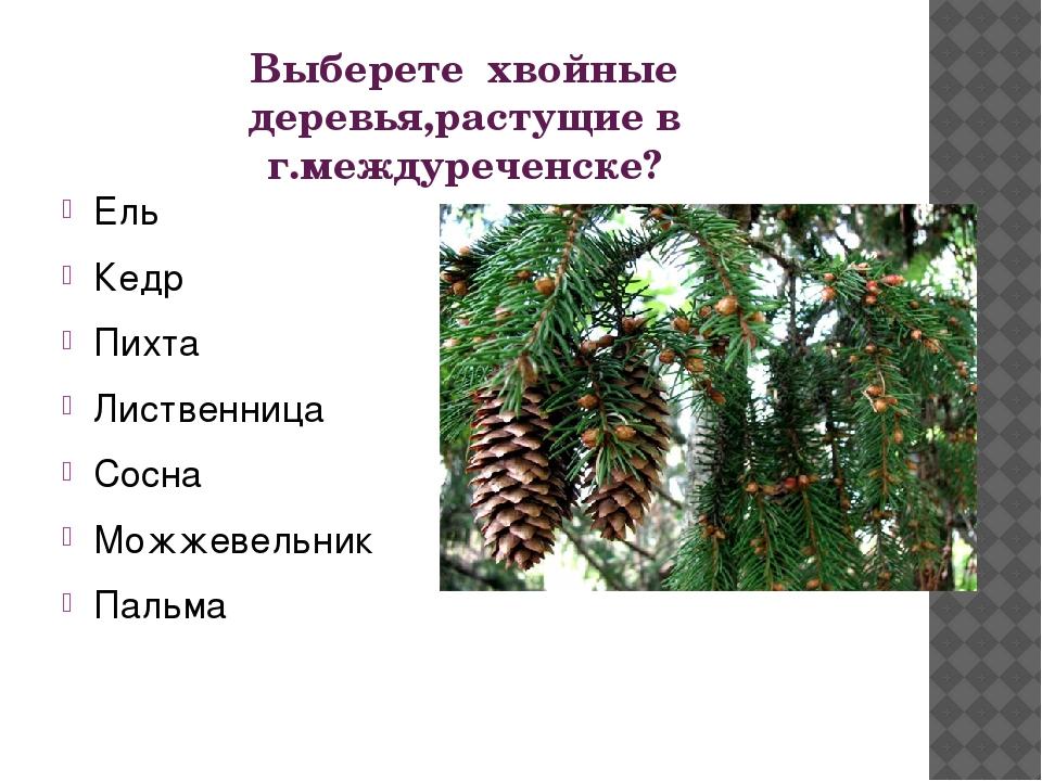 Выберете хвойные деревья,растущие в г.междуреченске? Ель Кедр Пихта Лиственни...