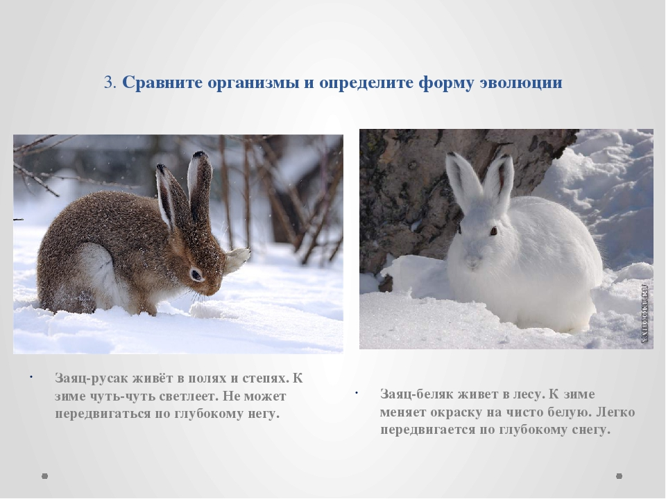 3. Сравните организмы и определите форму эволюции Заяц-русак живёт в полях и...