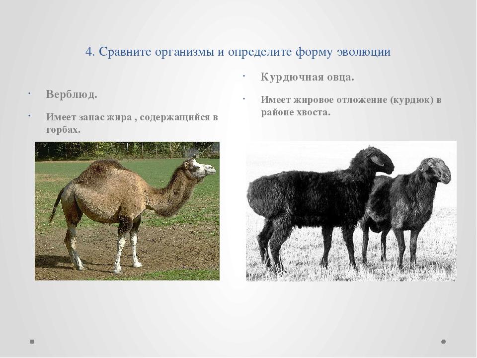 4. Сравните организмы и определите форму эволюции Верблюд. Имеет запас жира...