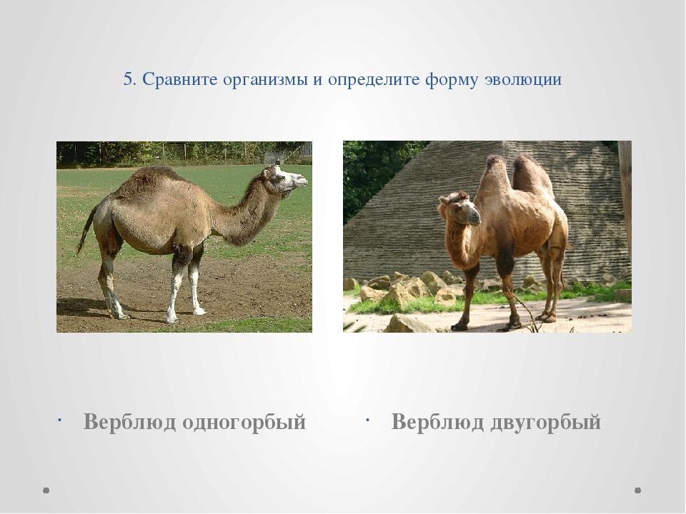 5. Сравните организмы и определите форму эволюции Верблюд одногорбый