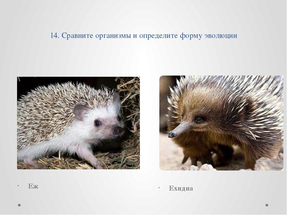 14. Сравните организмы и определите форму эволюции Еж