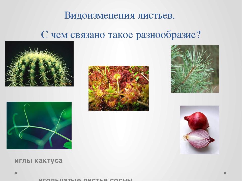Видоизменения листьев.  С чем связано такое разнообразие? иглы кактуса...