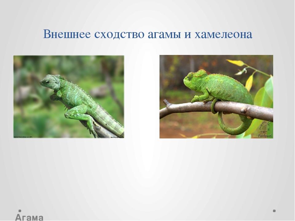 Внешнее сходство агамы и хамелеона...