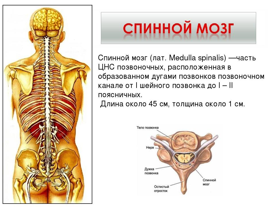Спинной мозг расположен в позвоночном столбе