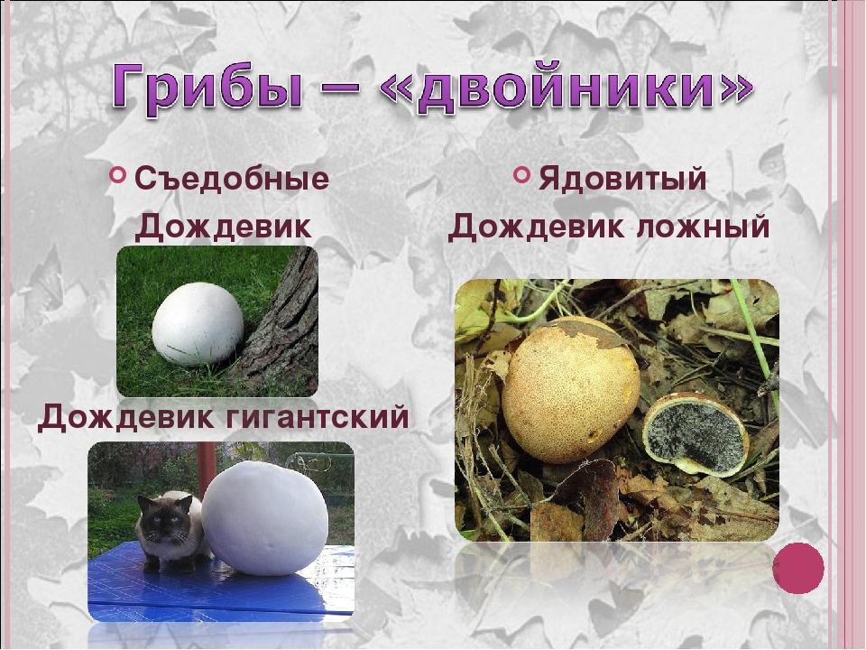 познавательной деятельности гриб дождевик фото и описание как готовить курорт имеет