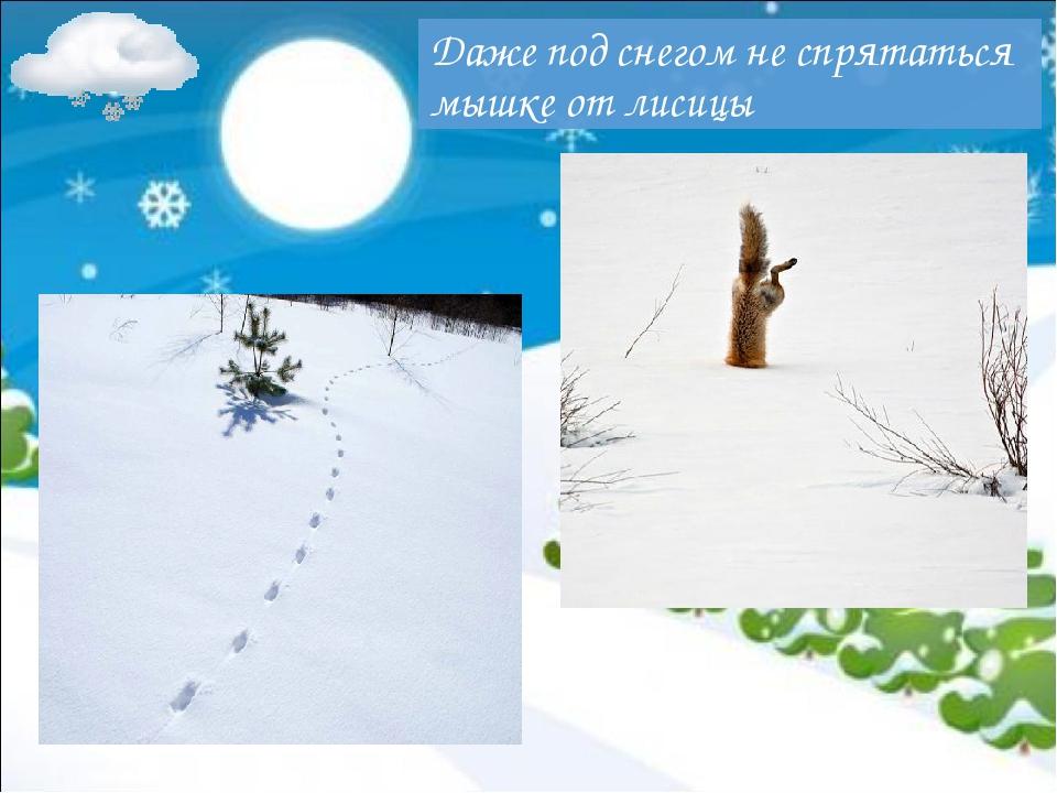 Даже под снегом не спрятаться мышке от лисицы