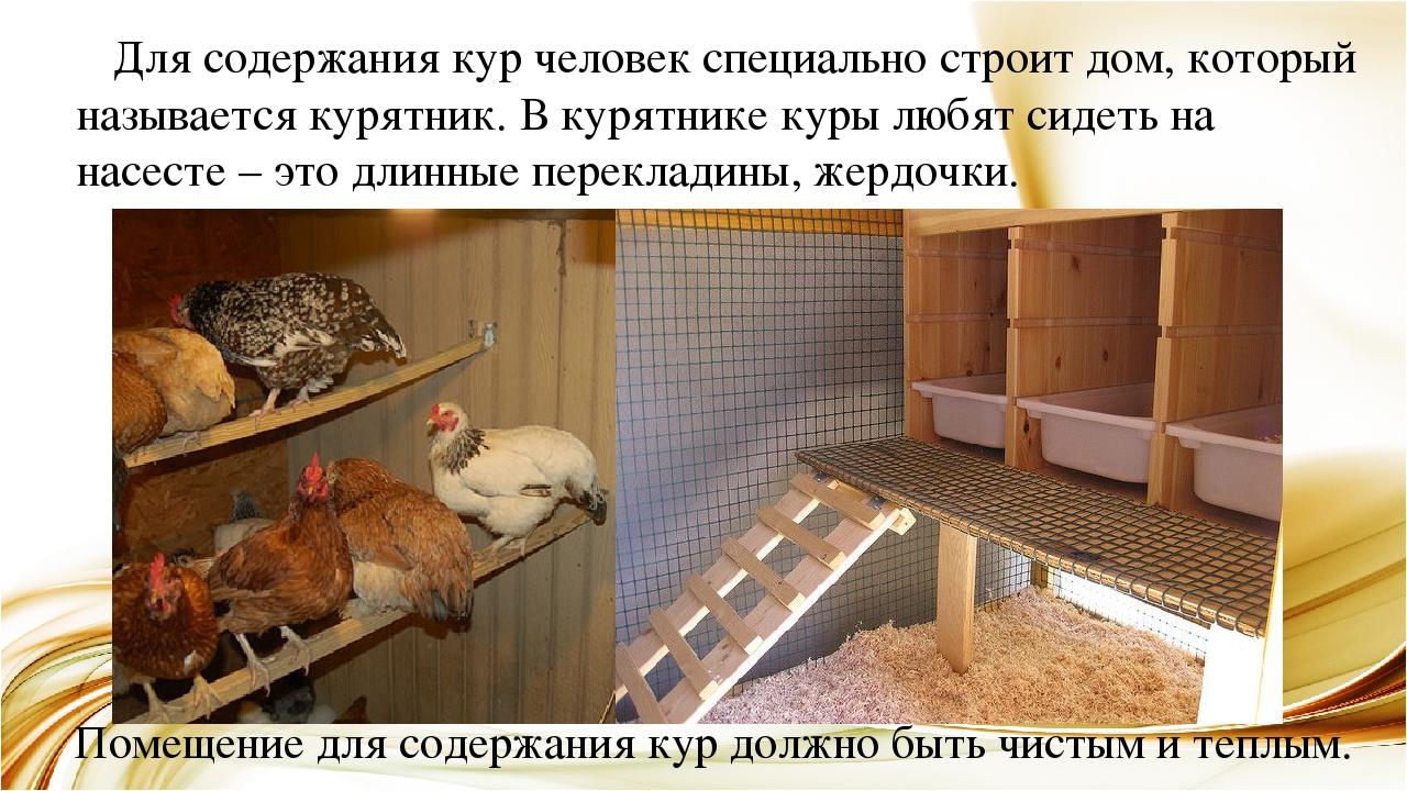 Как содержат кур несушек в домашних условиях