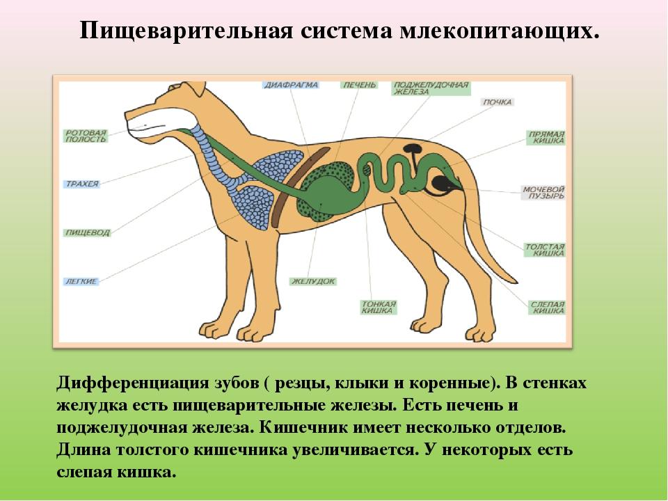 Пищеварительная система млекопитающих. Дифференциация зубов ( резцы, клыки и...