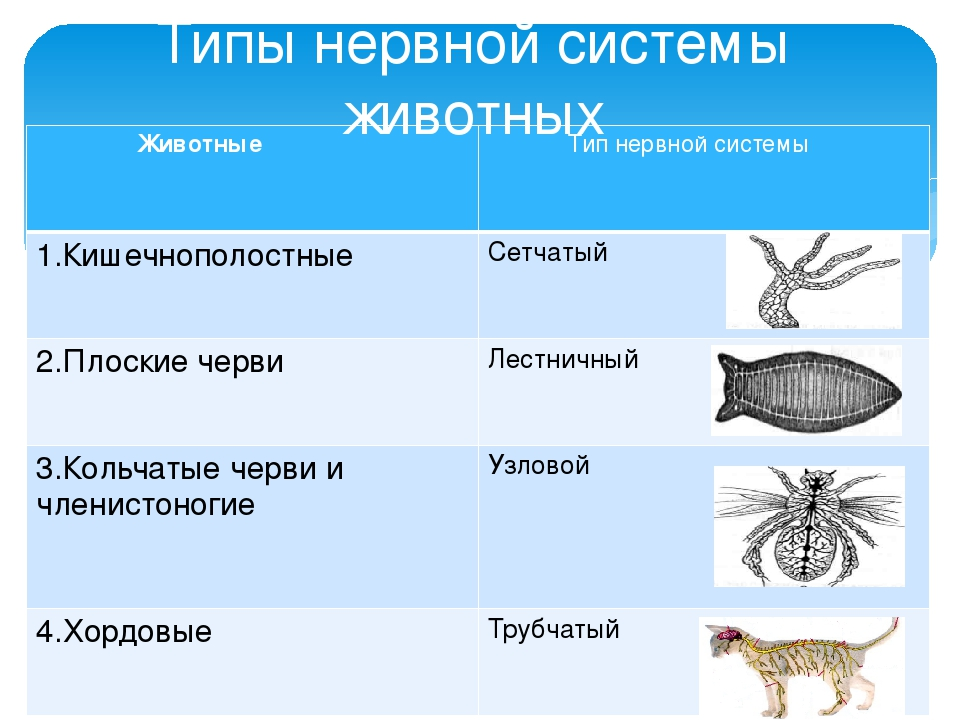 the evolution of the nervous system through nine animal phylum The nervous system is the part of an animal that coordinates its actions by transmitting signals to and from different parts of its body the nervous system detects environmental changes that impact the.