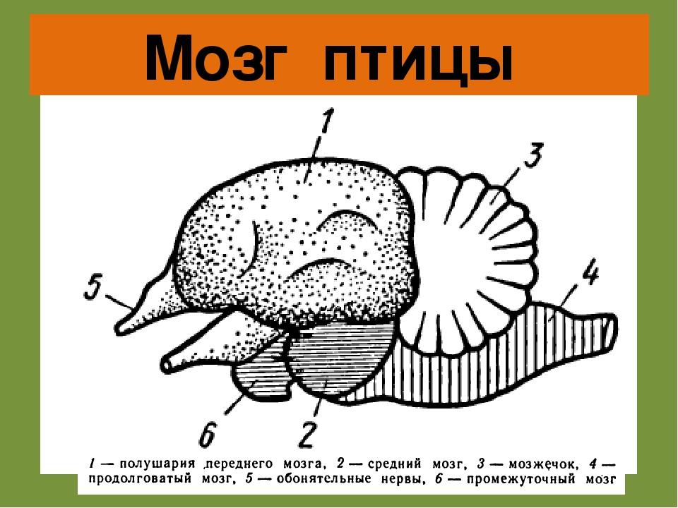 квадратные картинка мозга птиц этом случае