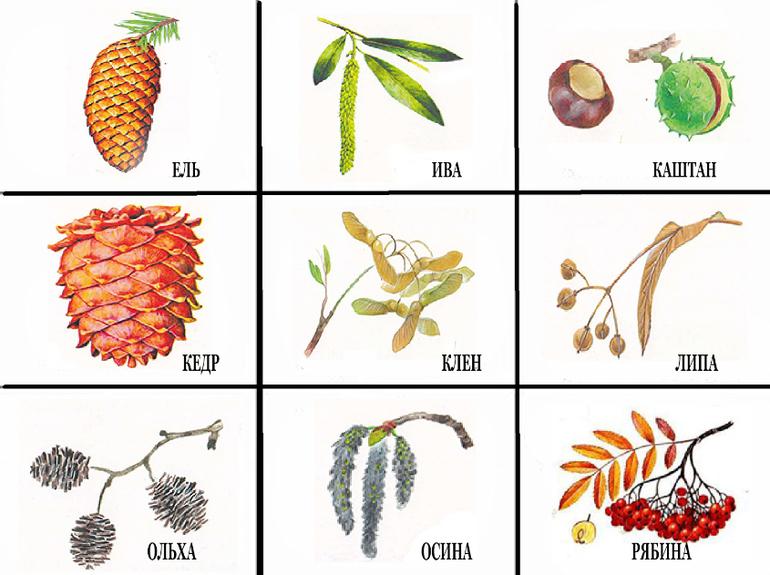 тканей картинки плодов деревьев с названиями этом случае