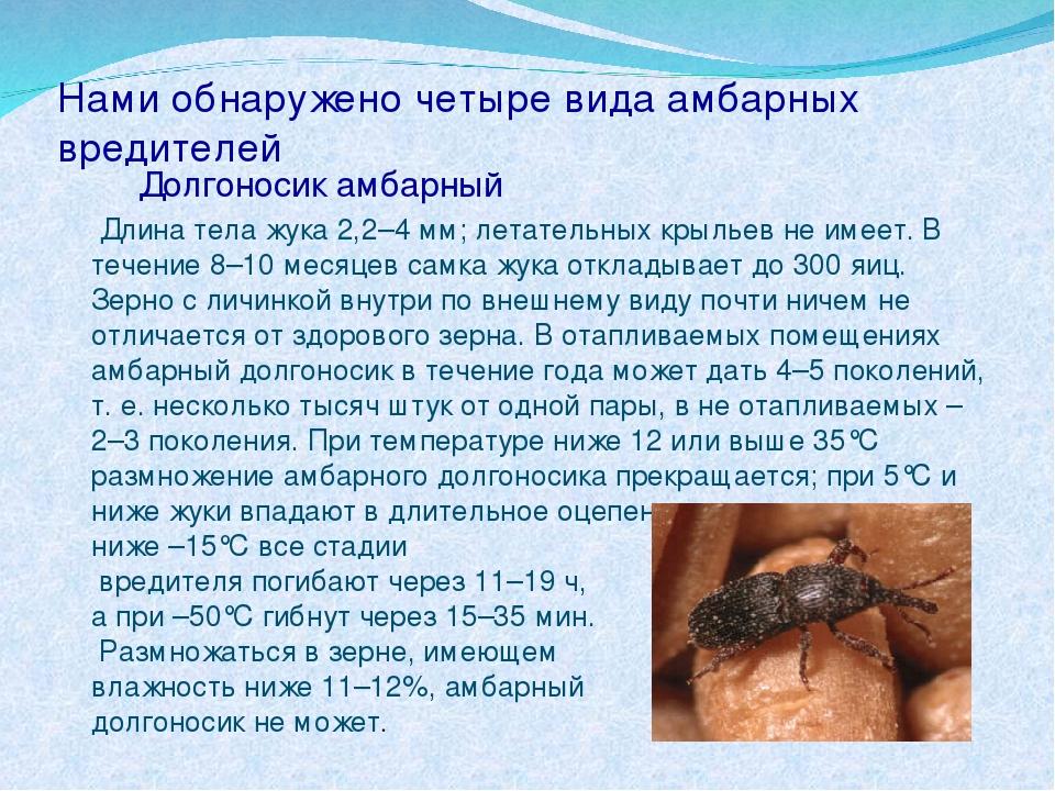 Нами обнаружено четыре вида амбарных вредителей Долгоносик амбарный Длина тел...