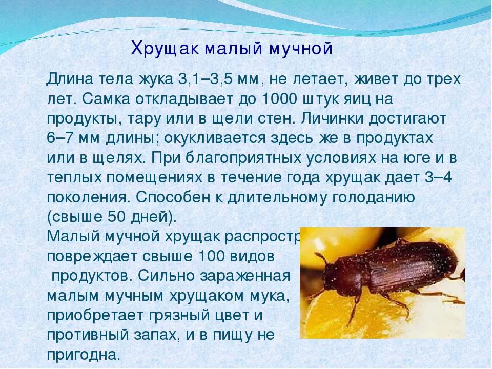 Хрущак малый мучной Длина тела жука 3,1–3,5 мм, не летает, живет до трех лет....