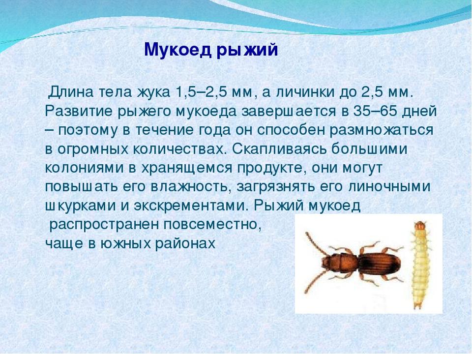 Мукоед рыжий Длина тела жука 1,5–2,5 мм, а личинки до 2,5 мм. Развитие рыжего...