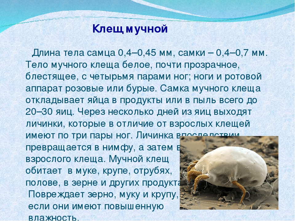 Клещ мучной Длина тела самца 0,4–0,45 мм, самки – 0,4–0,7 мм. Тело мучного кл...