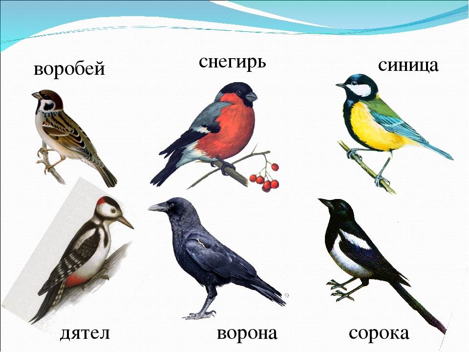 рабочие картинки вороны воробья голубя дятла синицы снегиря сувенир