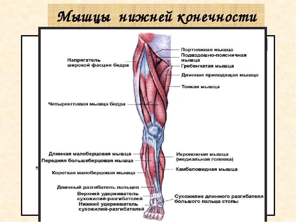 Мышцы нижних конечностей с картинками