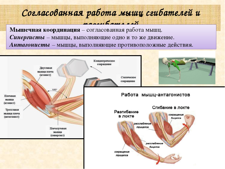 Сгибание руки в локтевом суставе нервные центры сгибателей таблица сыпь на теле фото только на суставах