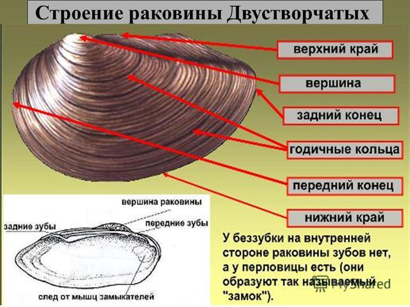 Картинки беззубка биология
