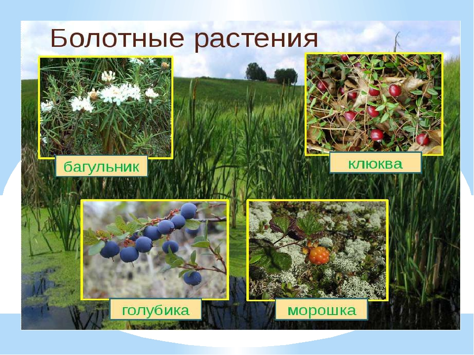 растения болот с картинками