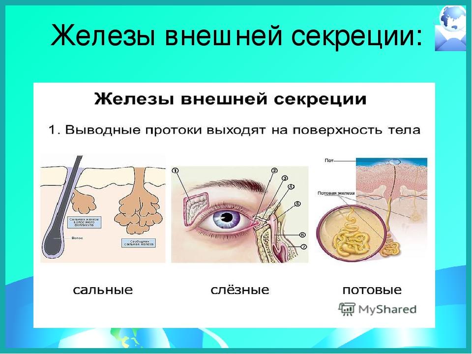 картинки желез внешней секреции глазки неприхотливы