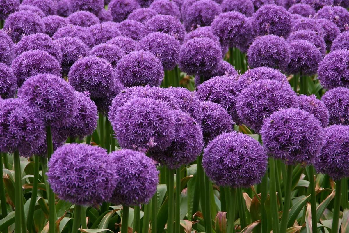 Луковицы растений садовых фото и название
