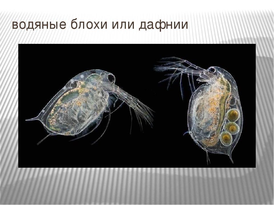 daphnia bioassay essay