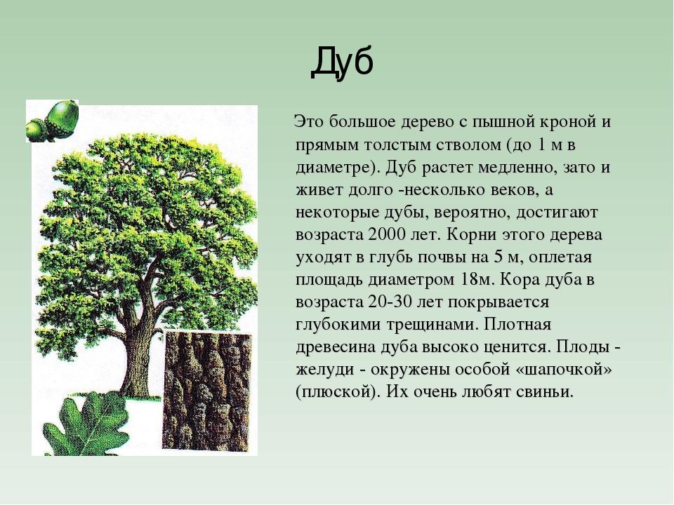 вместе дуб дерево фото и описание тому сама маша