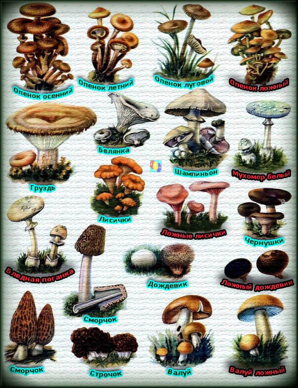 все съедобные грибы с фото и названиями забора