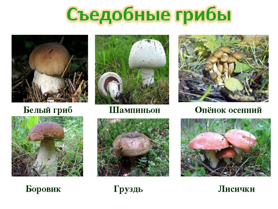 Белый гриб Шампиньон Опёнок осенний Боровик Груздь Лисички