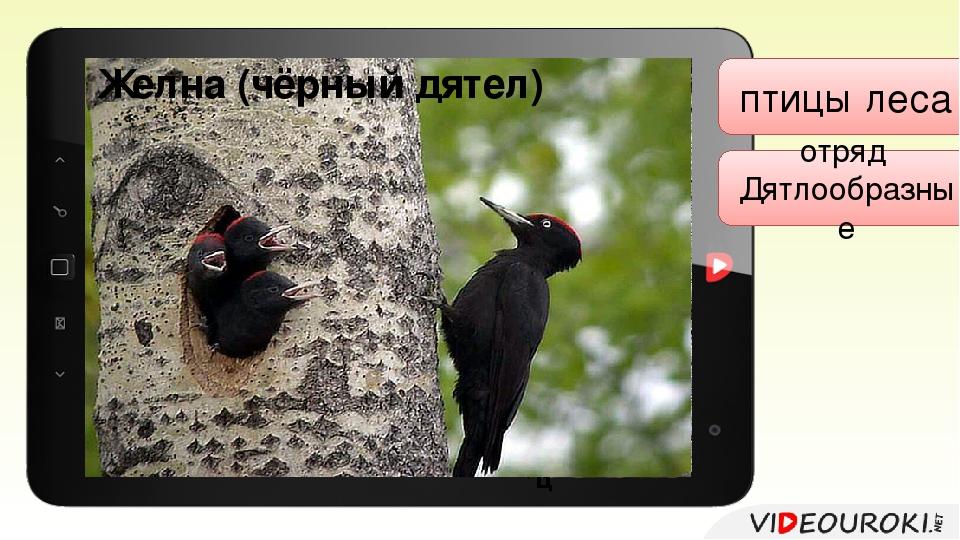 птицы леса отряд Дятлообразные Большой пёстрый дятел самец Малый пёстрый дят...