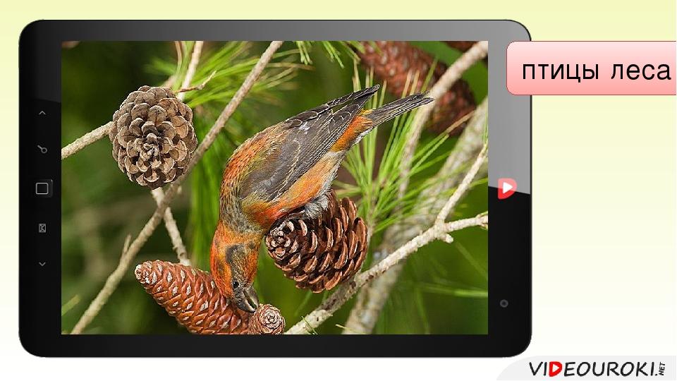 птицы леса Клёст-еловик
