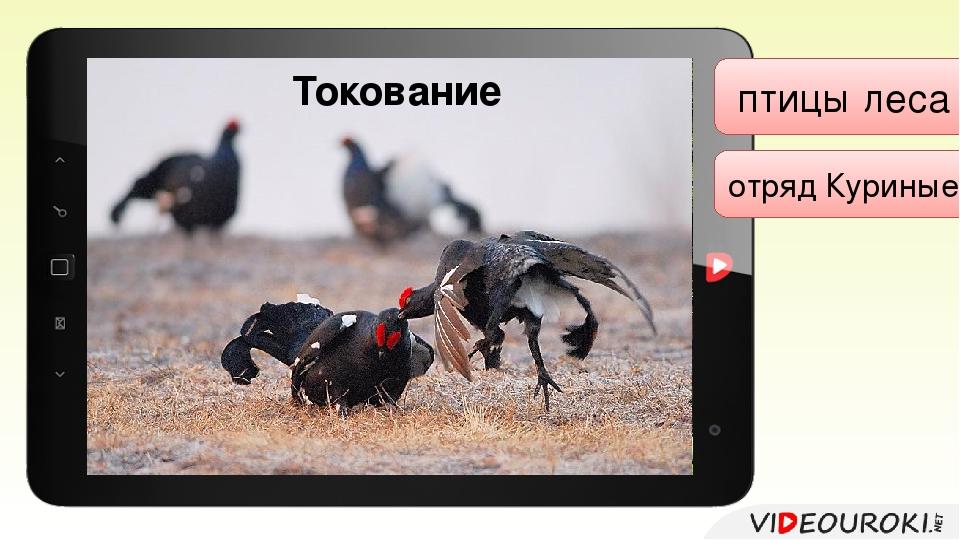 птицы леса отряд Куриные Представители: рябчики; глухари; тетерева. Обыкнове...