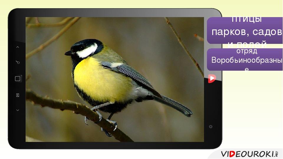 птицы парков, садов и полей отряд Воробьинообразные Большая синица