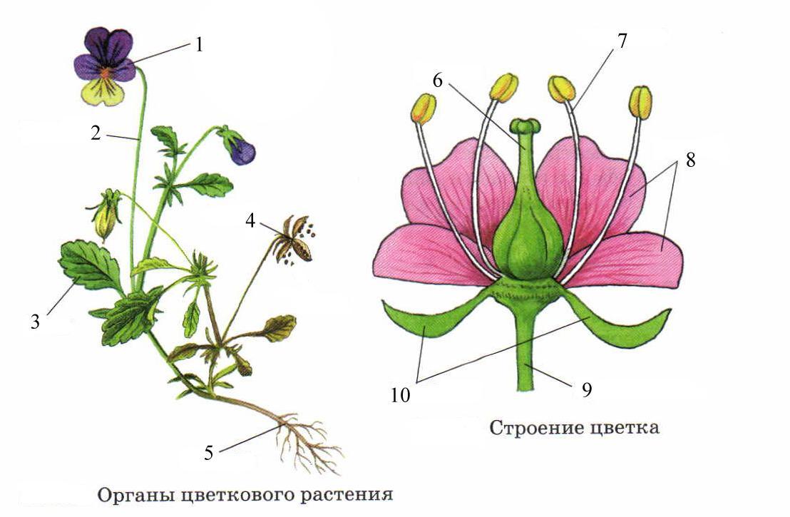 внешнее строение растения картинки вот