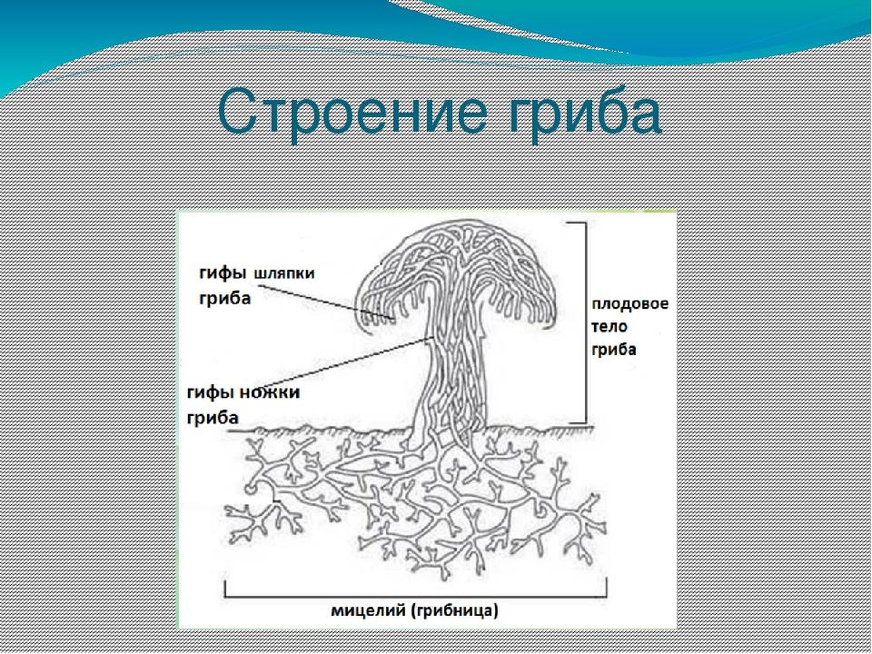 Картинка гифы гриба