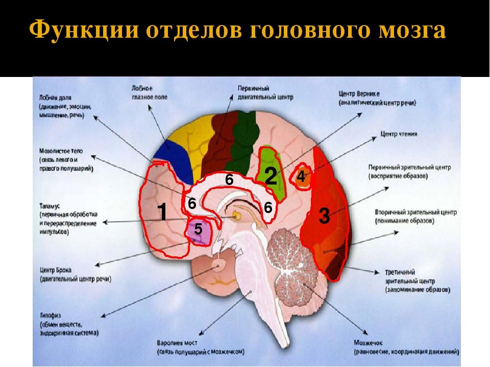 почему центры мозга и их функции в таблице большинстве магазинов