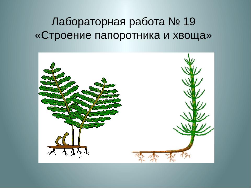 Лабораторная работа № 19 «Строение папоротника и хвоща»