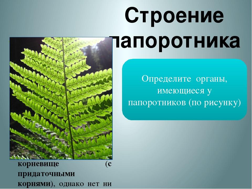 Строение папоротника Папоротниковидные – отдел высших растений, известный с д...