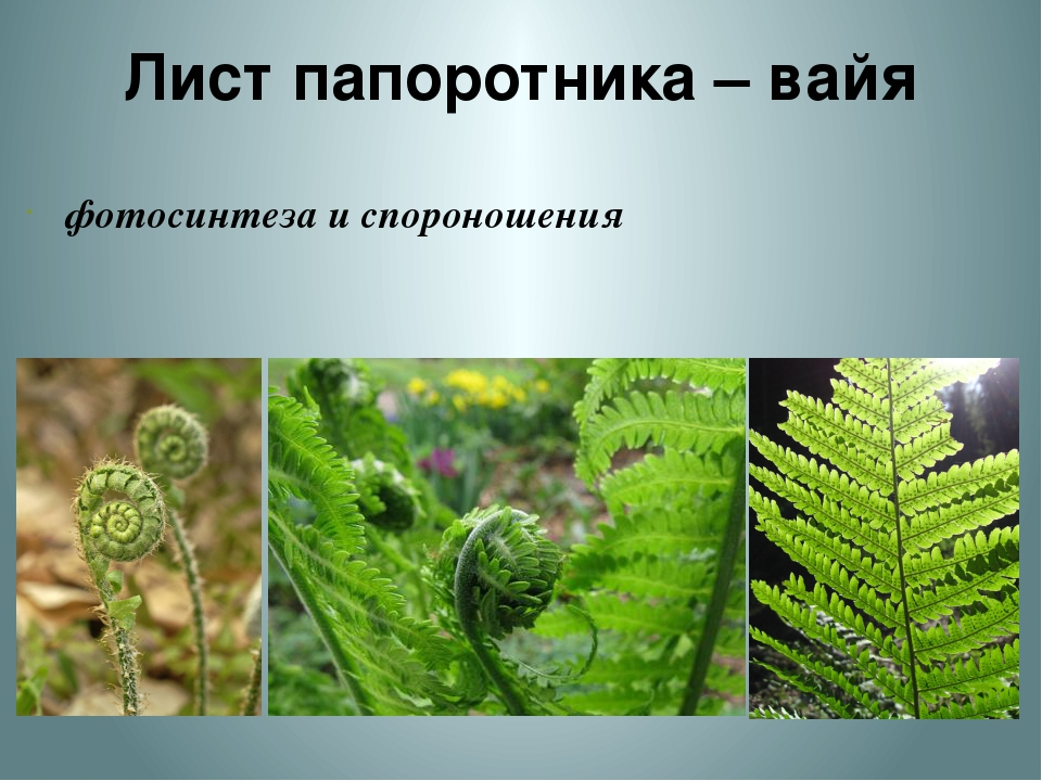 Лист папоротника – вайя фотосинтеза и спороношения