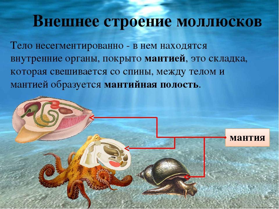 Строение моллюсков картинки