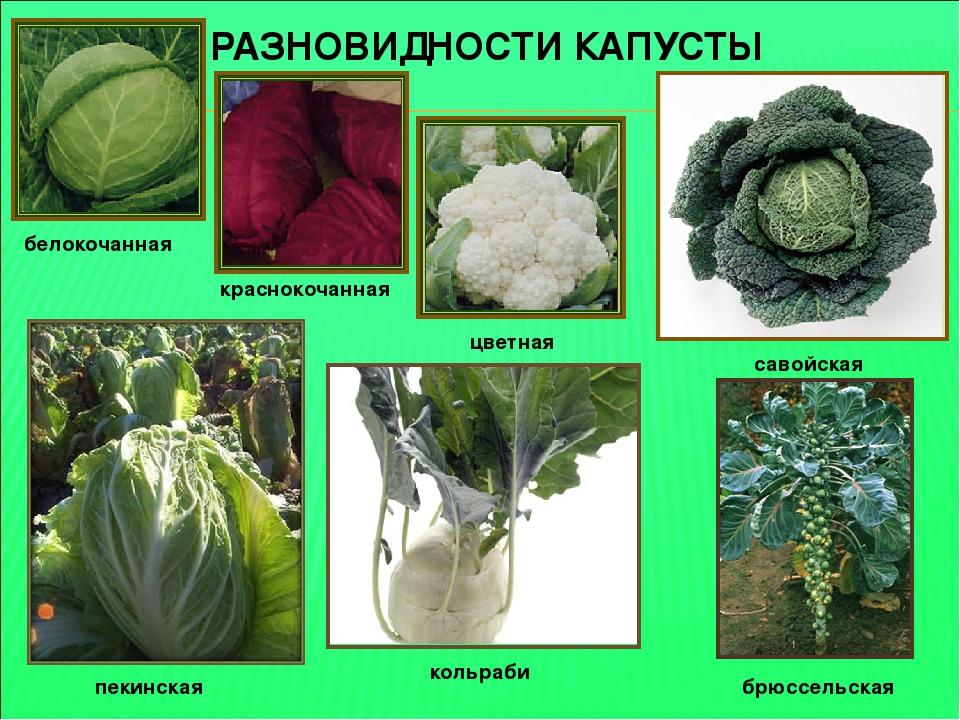 нежный виды капуст и их названия картинки защиты
