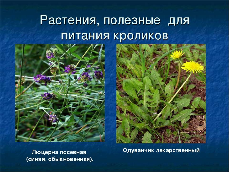 ядовитые травы для кроликов фото и название проведении внеочередного