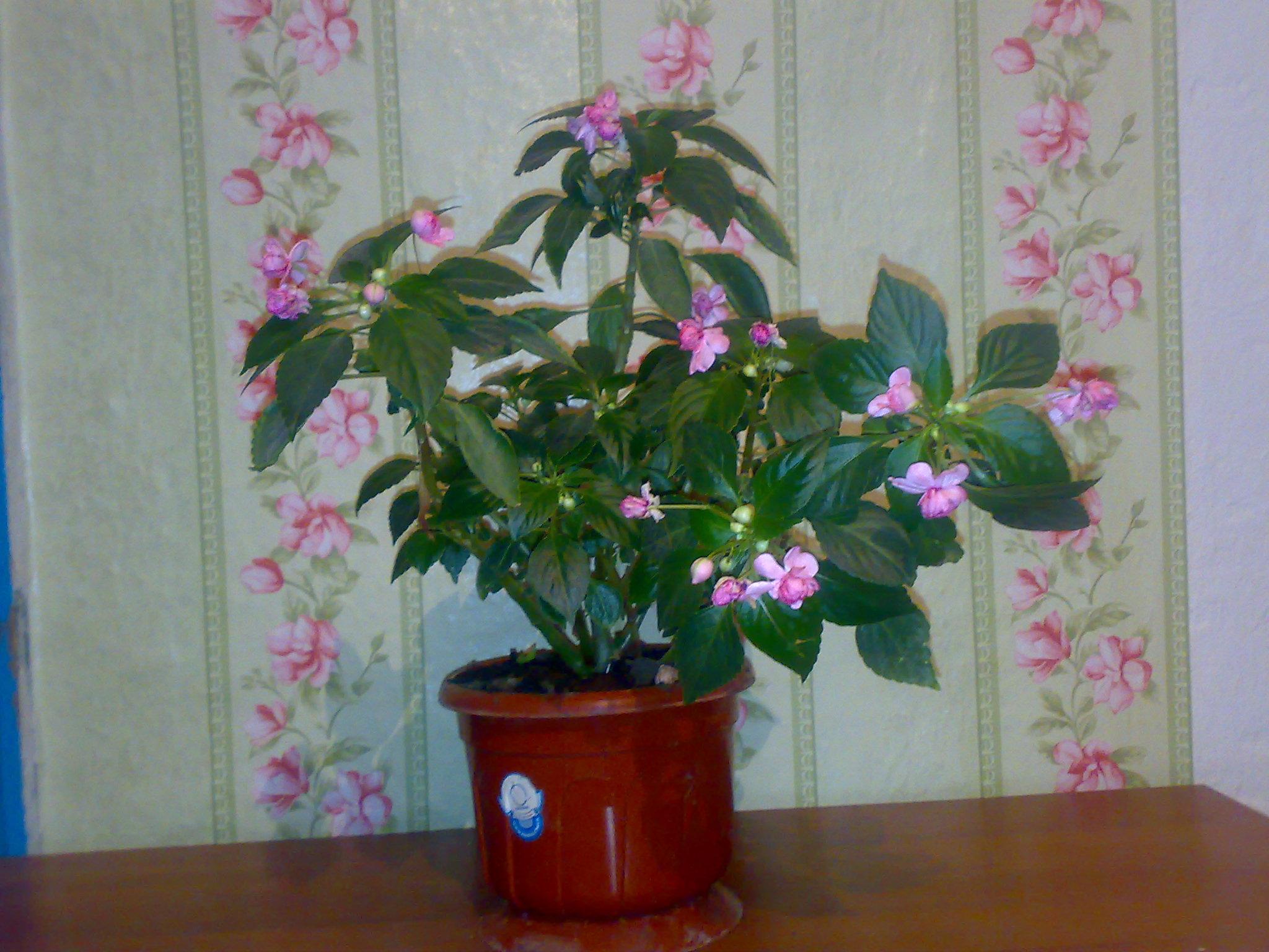Комнатные растения фото и названия хрусталик