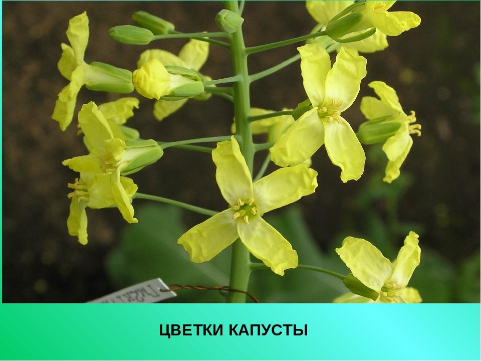 Капуста цветы