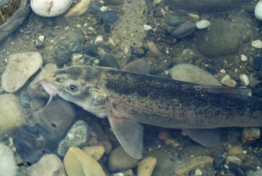 Рыбы реки небуг фото