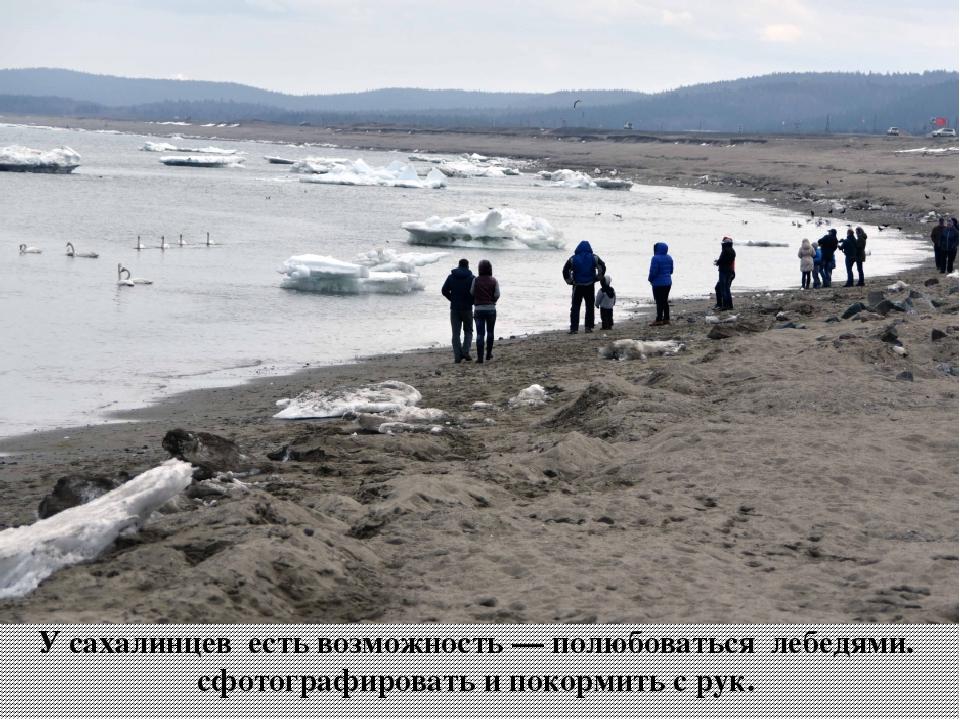 У сахалинцев есть возможность — полюбоваться лебедями. сфотографировать и пок...