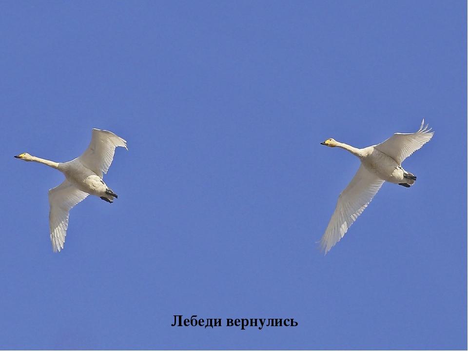 Лебеди вернулись