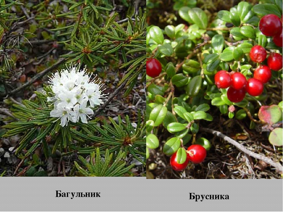 Брусника Багульник
