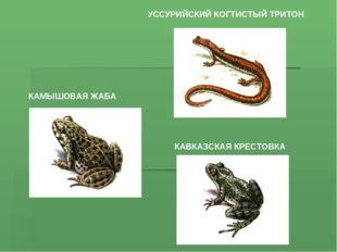 УССУРИЙСКИЙ КОГТИСТЫЙ ТРИТОН КАМЫШОВАЯ ЖАБА КАВКАЗСКАЯ КРЕСТОВКА